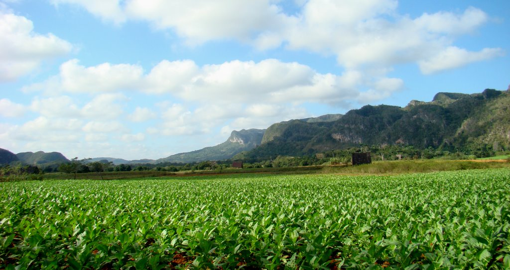 tobaco fields